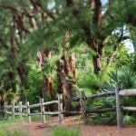 Australian Pines Photo